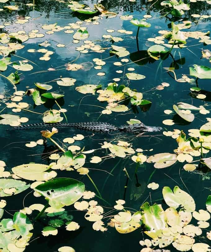 An American alligator glides through the lily pad covered waters of Everglades National Park in Florida