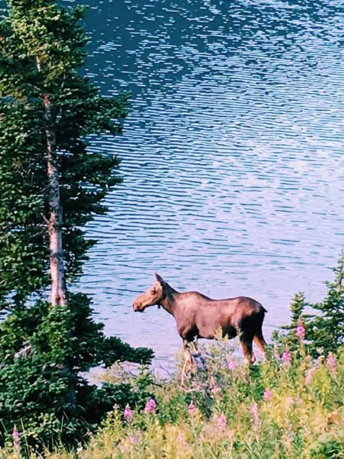 The animals in Glacier National Park, Montana