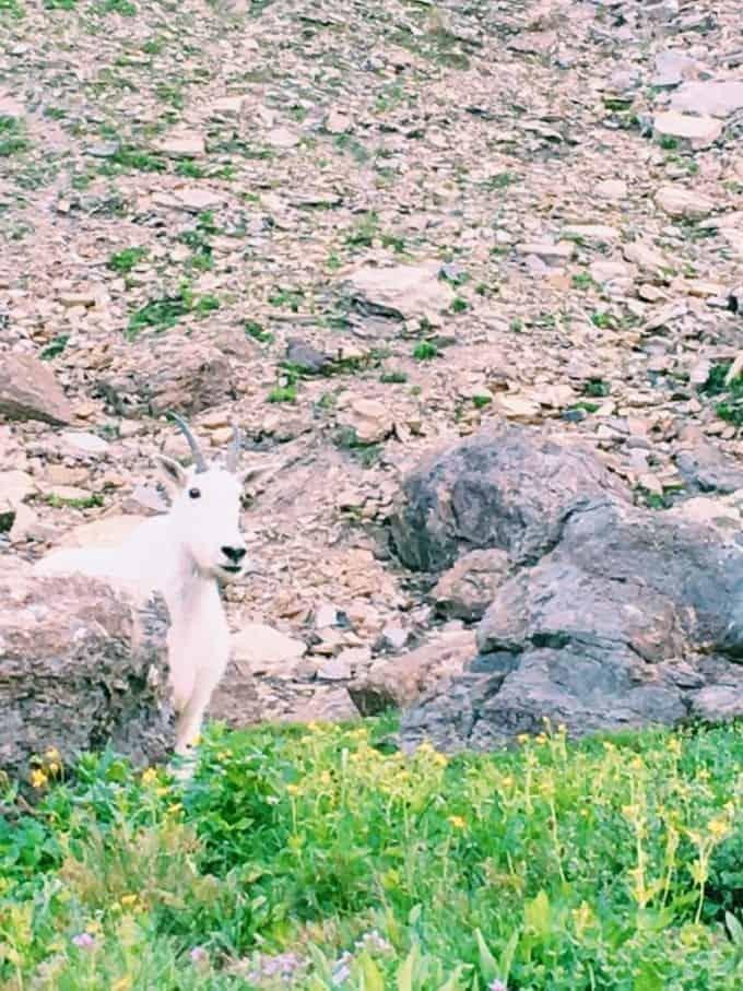 The animals of Glacier National Park, Montana