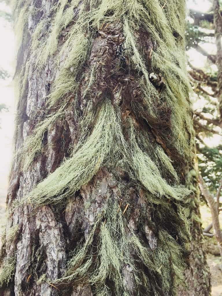 Unique mustache trees in Oregon