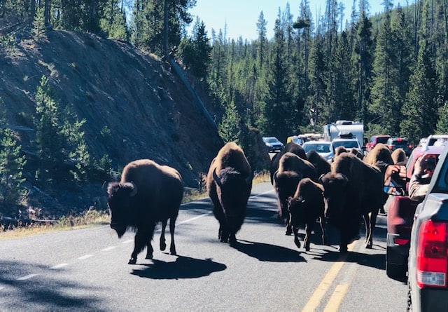 Bison traffic jam in Yellowstone National Park