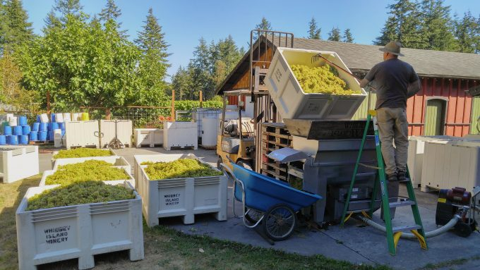 Harvest and processing time at Whidbey Island Winery in Washington.