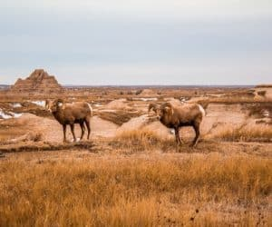 Wildlife in Badlands National Park