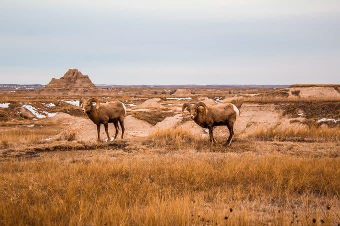 Wildlife in Badlands National Park