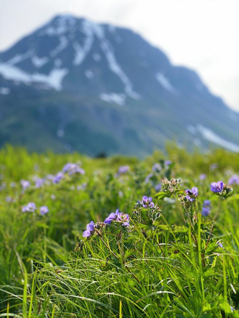 wildflowers on the lost lake trail seward alaska