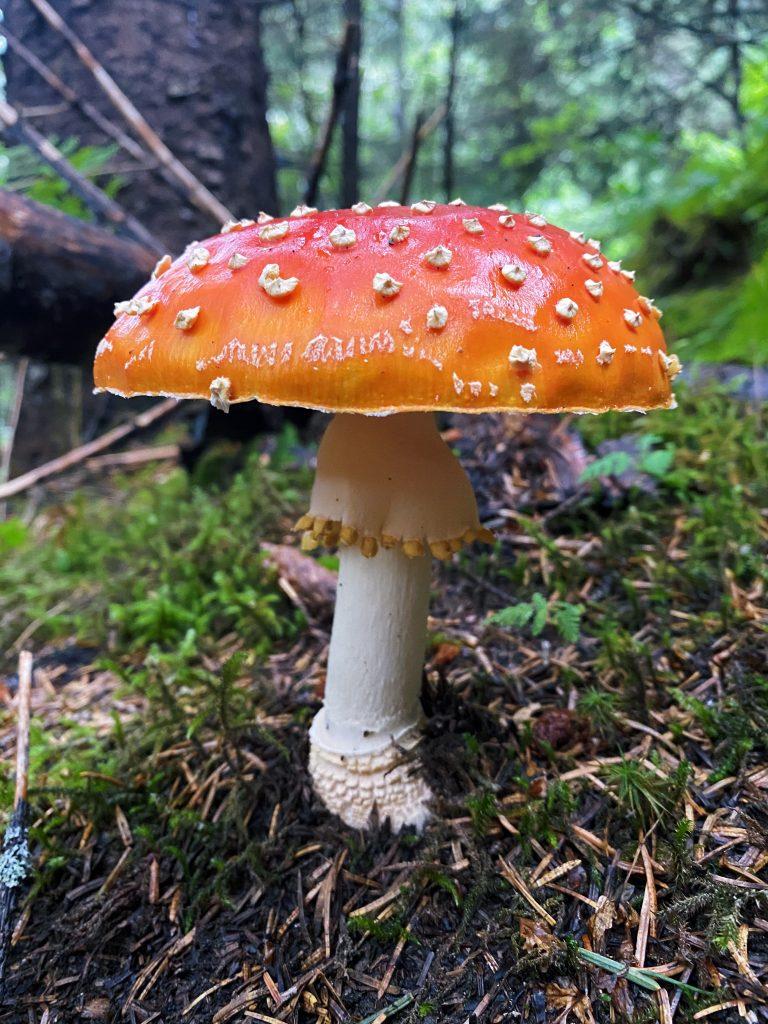 mushroom on the trail in seward alaska