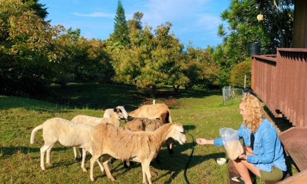 feeding goats at the hipcamp big island hawaii location