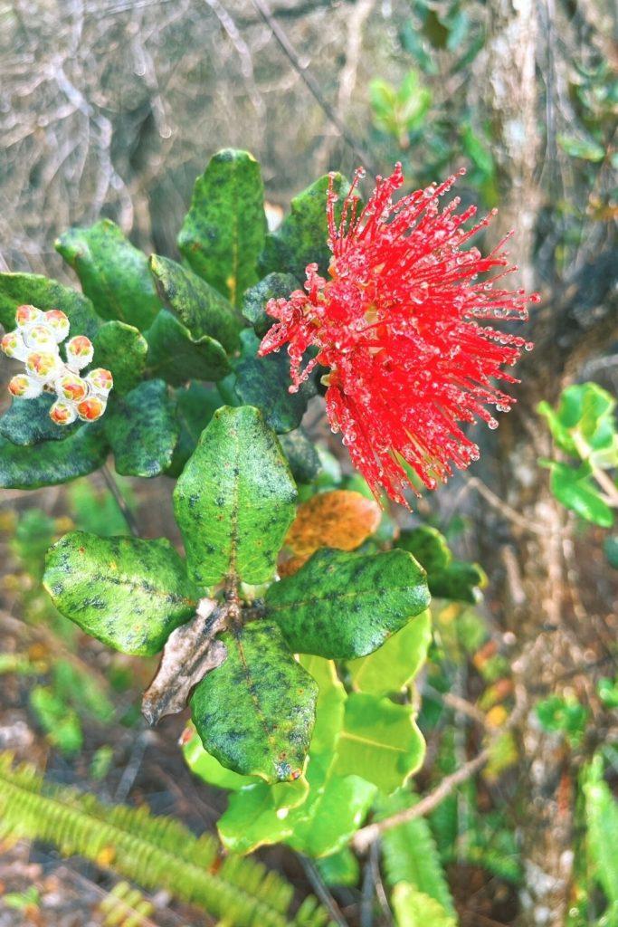 flowers in hawaii volcanoes national park