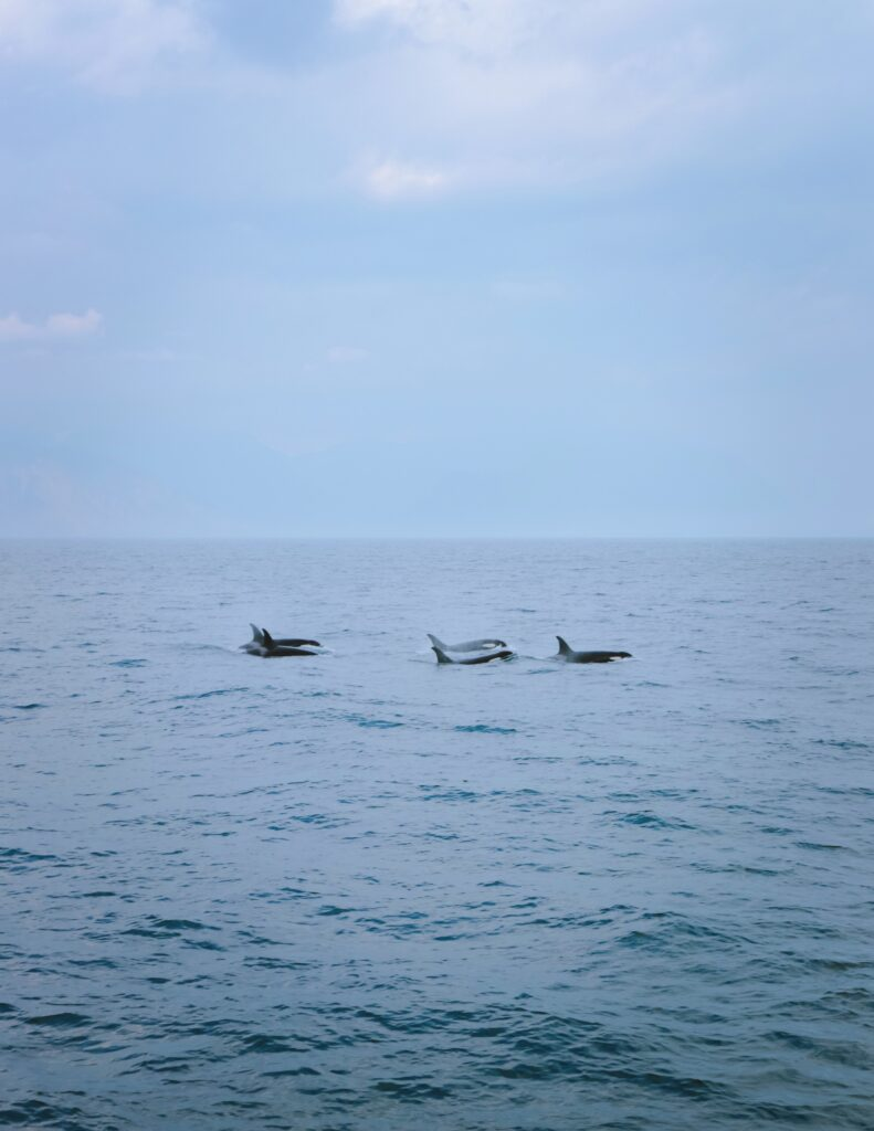 orca whales in kenai fjords