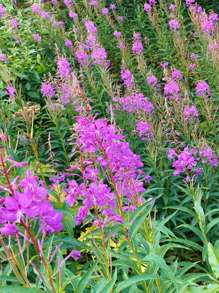 wild flowers in kenai fjords national park