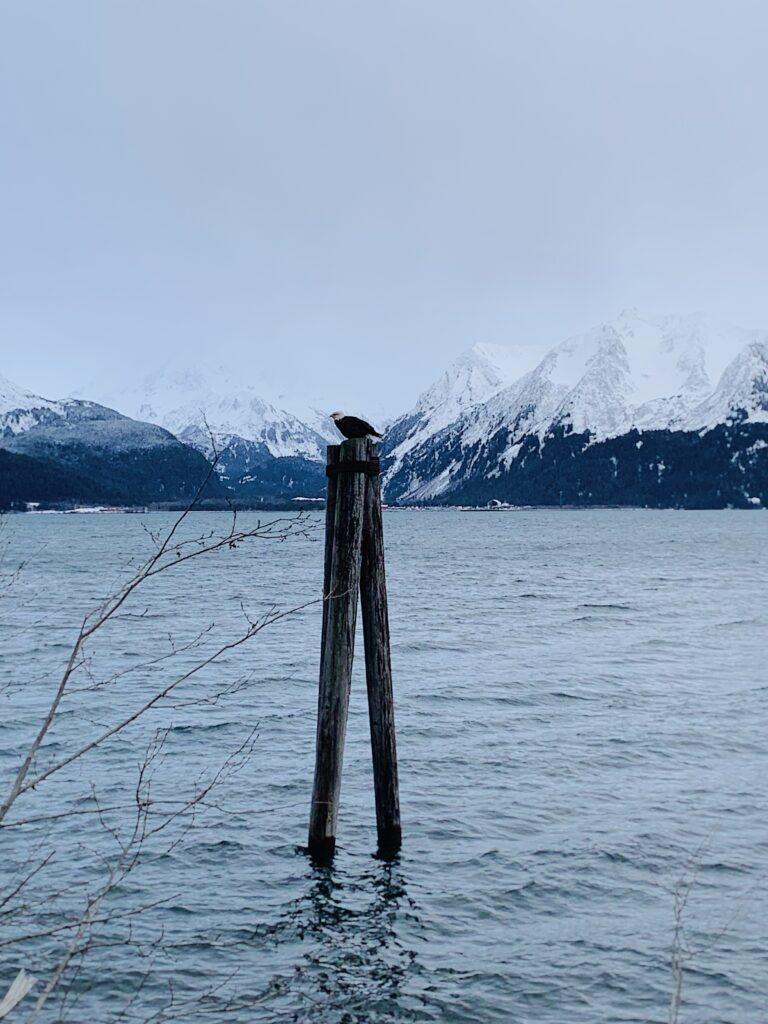bald eagle in kenia fjords national park