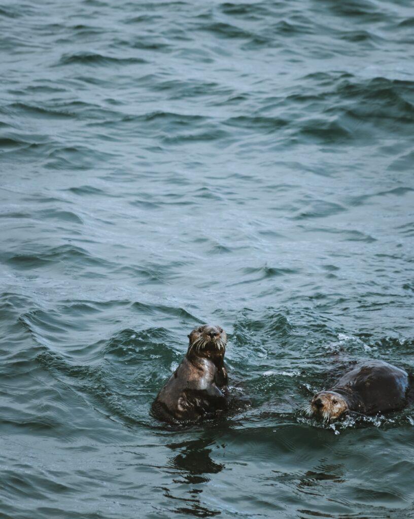 otters playing in kenai fjords alaska