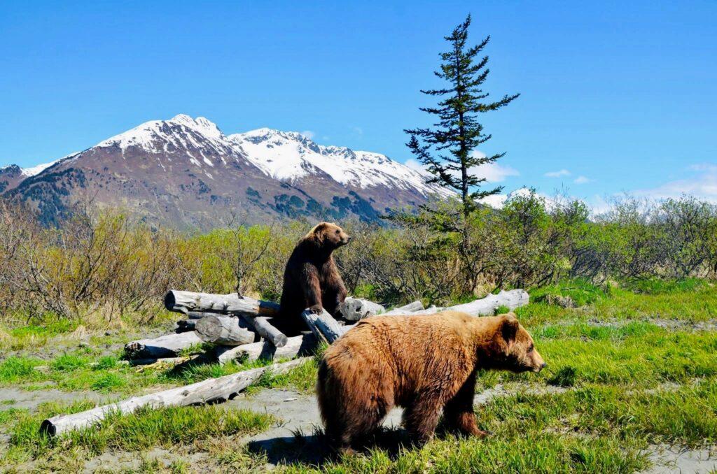 brown bears at the Alaska conservation center